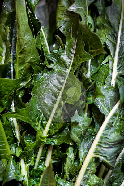 Closeup of fresh chicory leaves