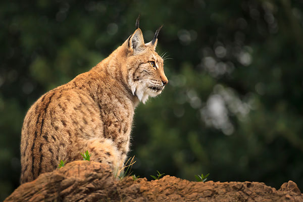 Lynx On The Lookout III
