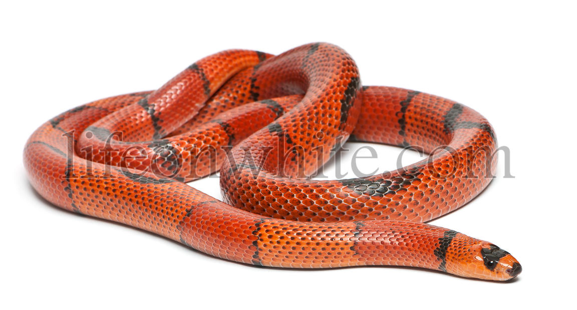 Hypomelanistic aberrant Honduran milk snake, Lampropeltis triangulum hondurensis, in front of white background