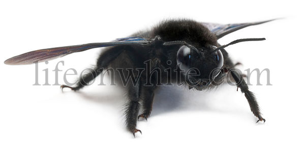Carpenter bee, Xylocopa violacea, in front of white background
