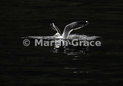 Southern Black-Backed Gull (Larus dominicanus dominicanus) with reflection, just after landing on Doubtful Sound, Fiordland N...