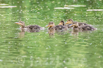 Five cute ducklings swimming in lake.