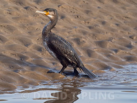 Great Cormorant Phalacrocorax carbo immature North Norfolk February