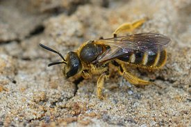 Closeup of a female Common furrow or sweat bee Lasioglossum calceatum on the ground