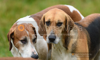 Belvoir hounds at the meet. The Belvoir Hunt at Long Clawson 21/1