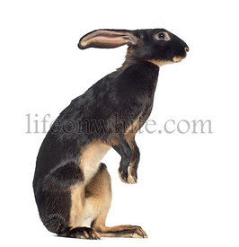 Belgian Hare on hind legs isolated on white