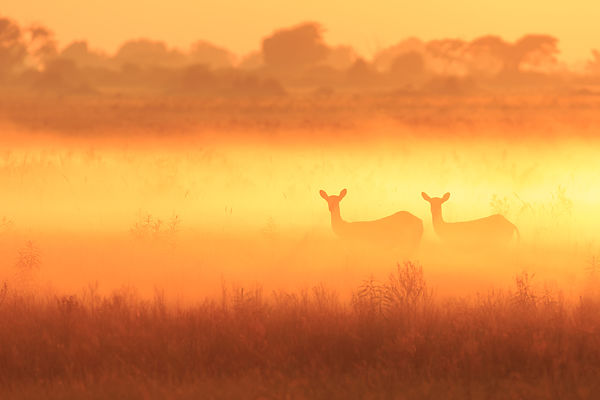 Red Lechwe Sunrise III