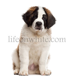 Saint-Bernard puppy looking at the camera, isolated on white