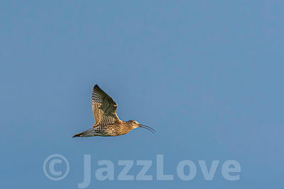 Curlew in flight.
