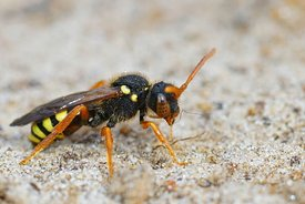 Closeup on a female of the cleptoparasite painted nomad bee , Nomada fucata