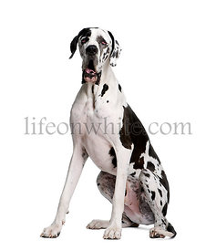 Arlequin Great Dane, 2 years old