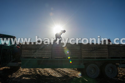 13th October, 2015. Potato harvesting in Wilkinstown, County Meath. Pictured is Paddy Smith levelling potatoes on his trailer...