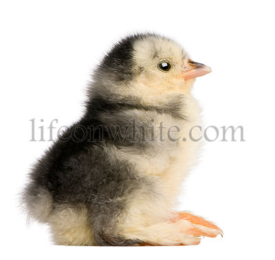 The Pekin is a breed of bantam chicken, 2 days old, sitting in front of white background