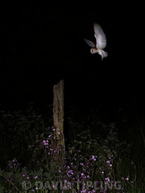 Barn Owl Tyto alba North Norfolk