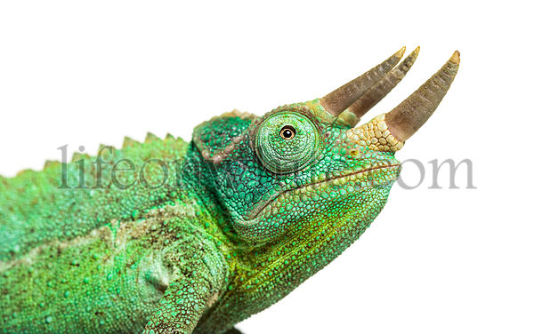 Close-up on a head of a Jackson's horned chameleon, Trioceros jacksonii, isolated on white against white background