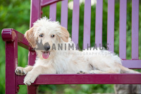 silly doodle puppy laying on bench looking away