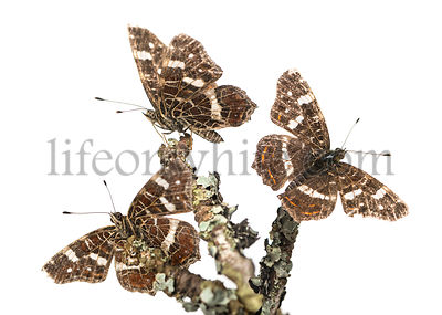 Map butterflies landed on branches, Araschnia levana, isolated on white