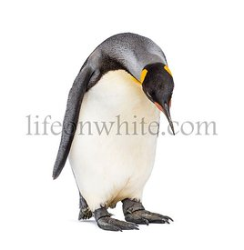 standing King penguin looking down isolated