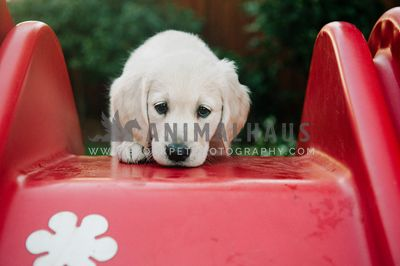 A golden retriever puppy at the top of some plastic steps