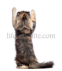 Rear view of an American Curl kitten, 3 months old, standing on hind legs and reaching in front of white background