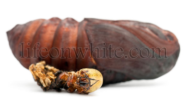 Giant Peacock Moth pupa removed from cocoon, Saturnia pyri, next to it\'s moulting in front of white background
