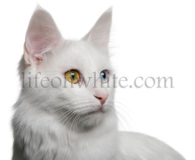 close up of a Turkish Angora (18 months old)