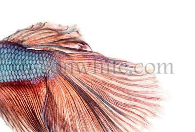Close-up of a Siamese fighting fish\'s caudal fin, Betta splendens, isolated on white