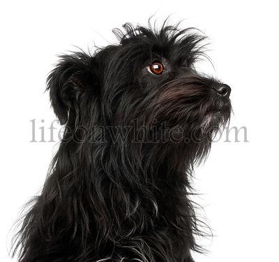 Close-up of Pyrenean Shepherd, 15 months old, in front of white background