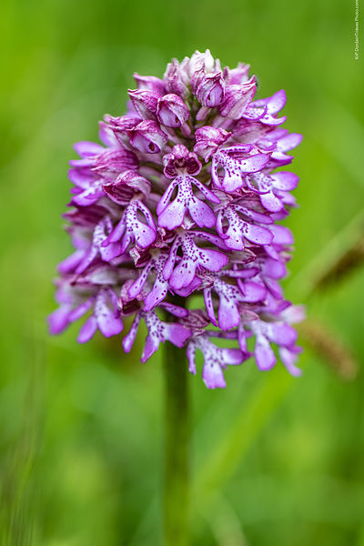 orchis_pourpre-67
