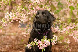 A newfoundland dog sitting in pink spring flowers