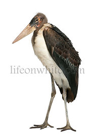 Marabou Stork, Leptoptilos crumeniferus, 1 year old, standing in front of white background