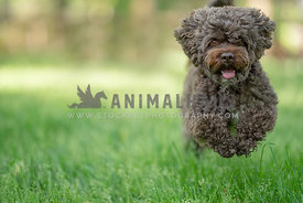 close up of dark brown cockapoo running through grass