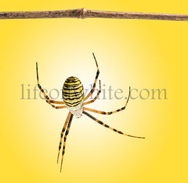 Back view of a wasp spider hanging from a wooden branch, Argiope bruennichi, on a yellow background