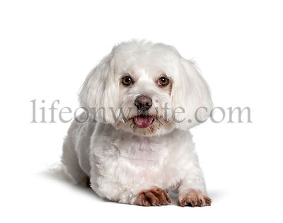 Maltese , 2 years, looking at camera against white background