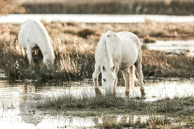 Camargue horse in the marsh