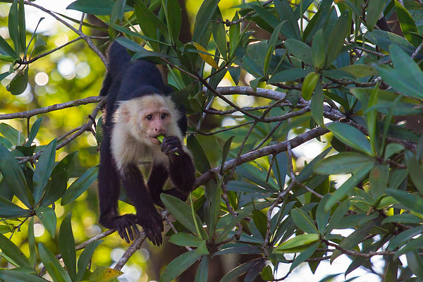 White-faced capuchin monkey (Cebus capucinus) eating a fruit standing on a treebranch in Costa Rican rainforest.