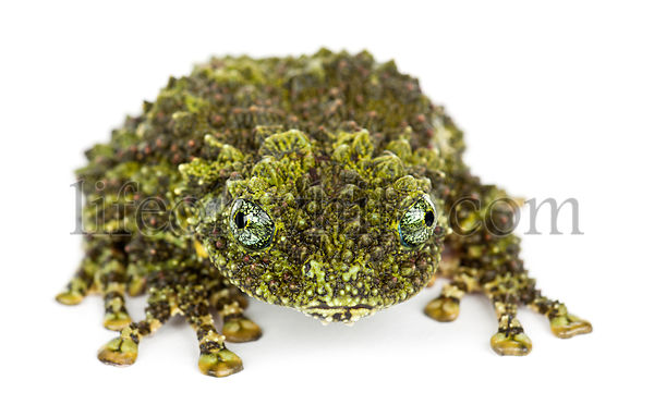 Mossy Frog, Theloderma corticale, also known as a Vietnamese Mossy Frog, or Tonkin Bug-eyed Frog, portrait against white back...