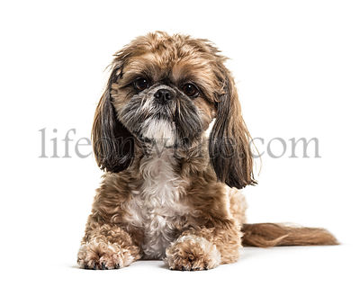 Lying Shih Tzu, isolated on white