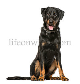 Beauceron panting and sitting, isolated on white background