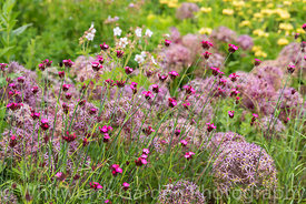 The Perennial Meadow at Scampston Hall Walled Garden, North Yorkshire, designed by Piet Oudolf. Planting includes Allium cris...