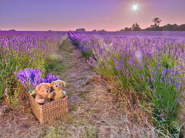 Two teddy bears in a basket in a lavender field