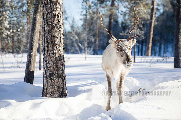 Reindeer standing in the snow in the forest of Finnish Lapland