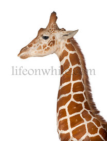 Somali Giraffe, commonly known as Reticulated Giraffe, Giraffa camelopardalis reticulata, 2 and a half years old standing clo...
