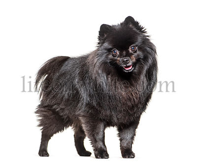 Sitting black Pomeranian dog panting, isolated on white