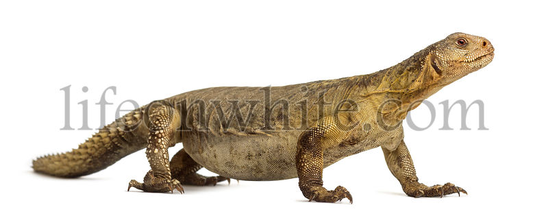 Female Egyptian mastigure (10 years old), uromastyx aegyptia, in front of a white background