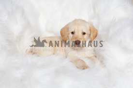 Adorable yellow lab puppy on white blanket