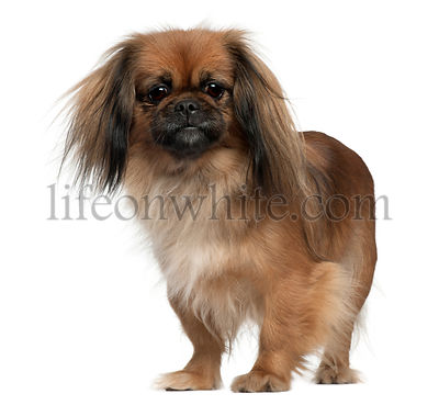 Pekingese, 2 and a half years old, standing in front of white background
