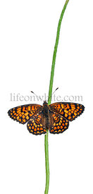 Knapweed Fritillary, Melitaea phoebe, on flower stem in front of white background