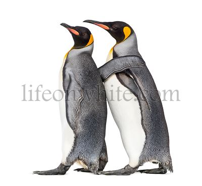 Couple of King penguin isolated on white