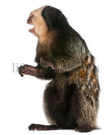 White-headed Marmoset with mouth open, Callithrix geoffroyi, sitting in front of white background